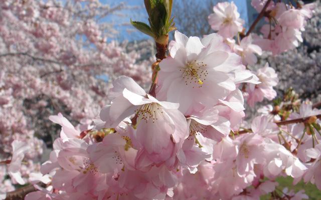 Kirschblüte an der Havelbucht